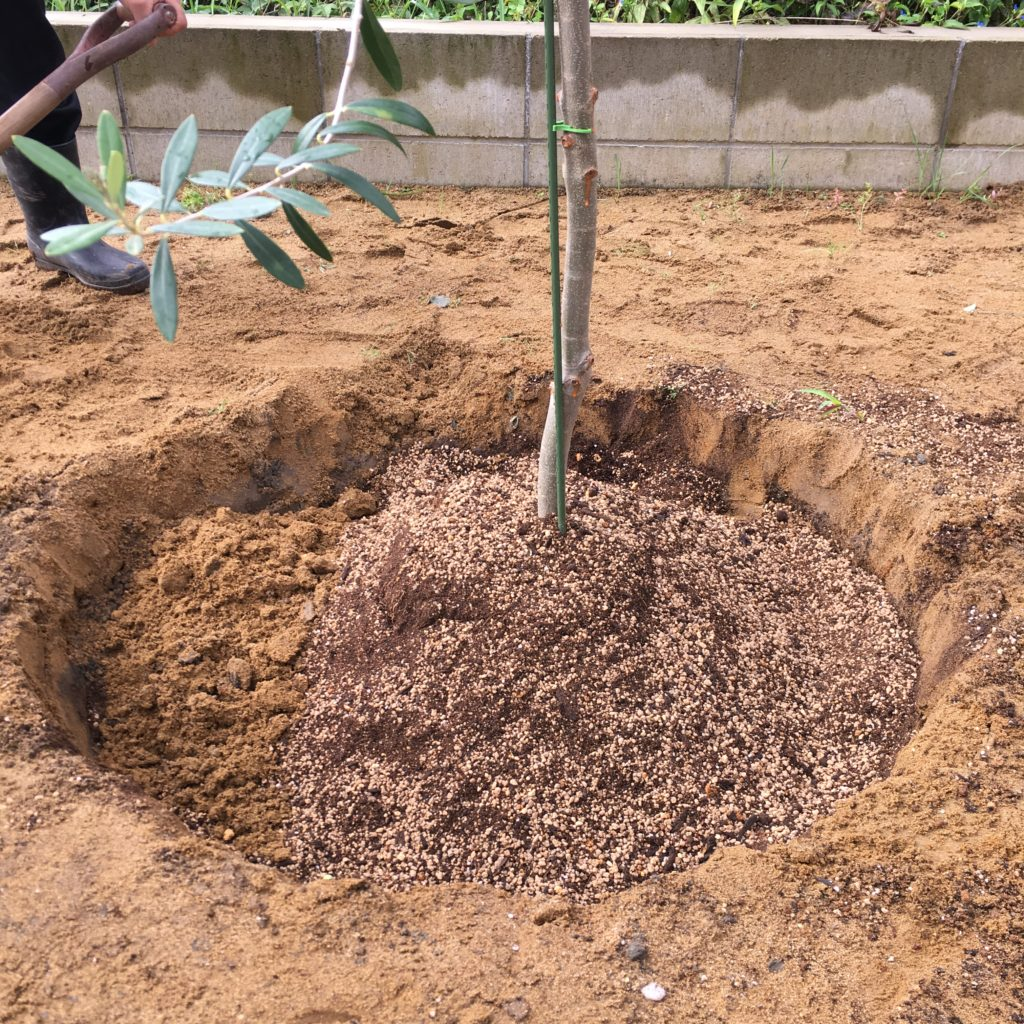 オリーブの周りを用土で埋める