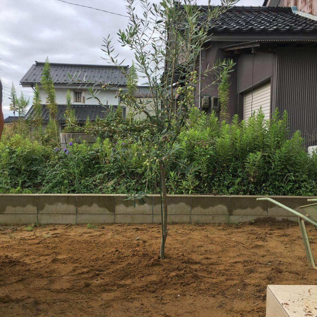 オリーブ地植え完了