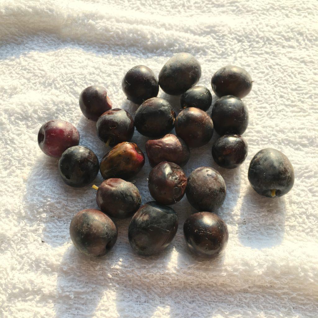 オリーブの実が完熟