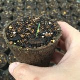 オリーブの芽