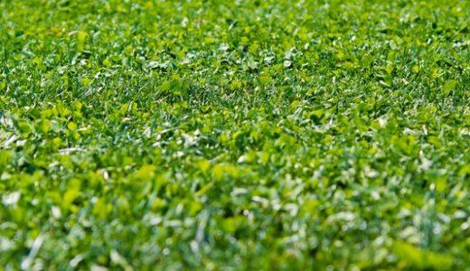 芝生のタネ