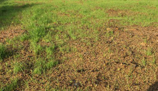 芝生たちが繁々とし始めました