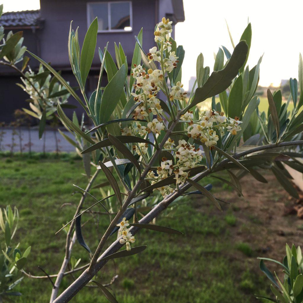 チプレッシーノの花