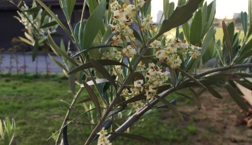 オリーブの花が咲く
